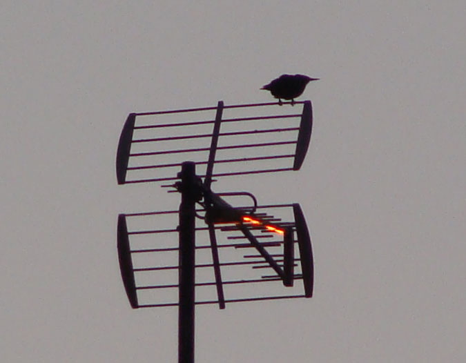 Tordo o estornino en una antena